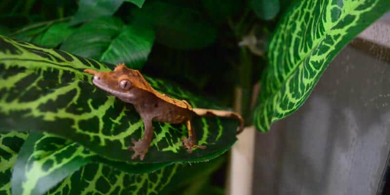 What Kind of Bugs Can Crested Geckos Eat?