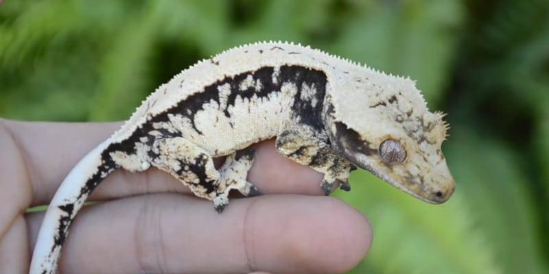 1. How do geckos change color