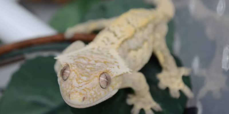 About Crested Geckos