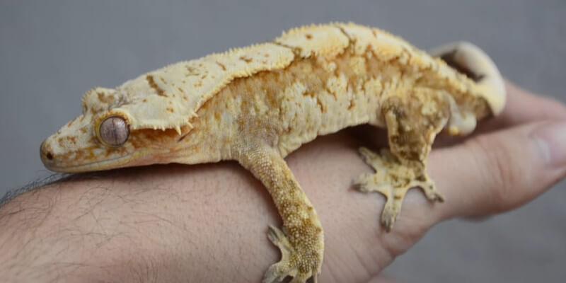 Do Crested Geckos Sleep With Their Eyes Open