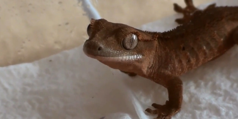 What Temperature Do Crested Geckos Need