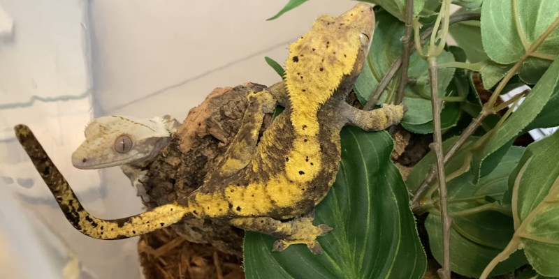 Do Crested Geckos need water