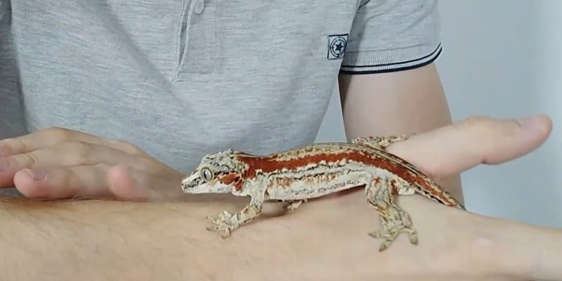 how to tame a crested gecko